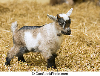 A baby goat standing on staw bedding in an indoor animal pen