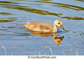 A Baby Gosling Swimming in a Summer Pond