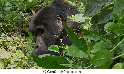 A baby mountain gorilla jumps on the mother's back, Bwindi ...