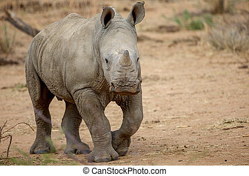 a baby rhino in the Kruger National Park South Africa