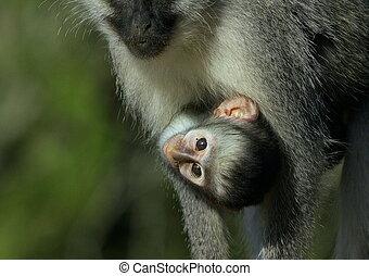 A baby vervet monkey