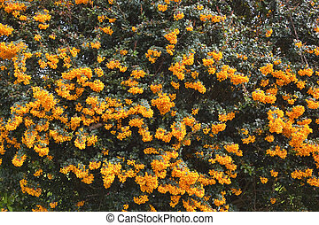 a background image of the orange flowers of berberis darwinii and dark green foliage