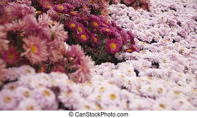 a background of moving colorful chrysanthemums - background...