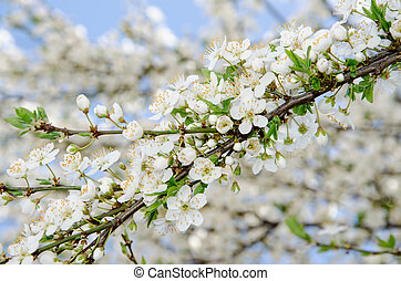 A background of white spring blooming branches