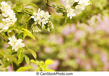 background on the tree beautiful white flowers buds
