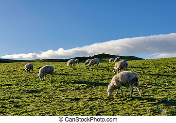 A backlit flock of sheep, grazing on a meadow