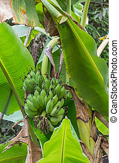A Banana tree with a bunch of green bananas