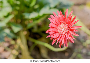 A Barberton daisy gerbera in sunlight. Known as Transvaal daisy or Barbertonse madeliefie, Gerbera jamesonii is a species of flowering plant found South Africa. Copy space room for text on left side.