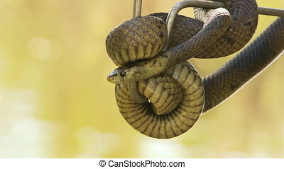 A bardick snake wrapped around a wrangler's hook - Close up ...