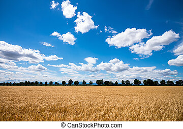 a corn ear on a cornfield. barley in agriculture before harvest