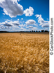 a barley field in agriculture - a corn ear on a cornfield. ...
