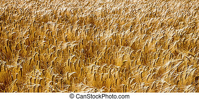 a corn ear on a cornfield. barley in agriculture before harvest.