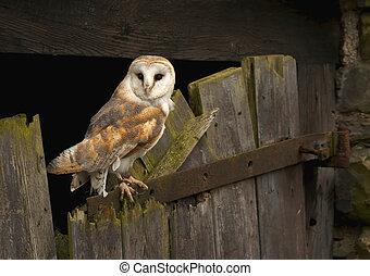Barn Owl - A Barn Owl captured on an old barn door in Wales...