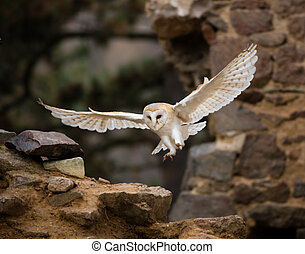 A Barn owl flying in old castle ruins.
