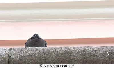 A barn swallow bird facing backward