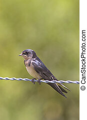 A Barn Swallow chick, Hirundo rustica, perched on a barbed wire fence
