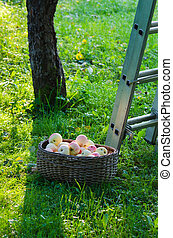 A basket full of apples in the garden