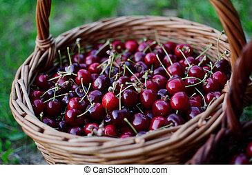 A basket full of cherries in a garden