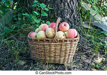 A basket of garden apples in the garden