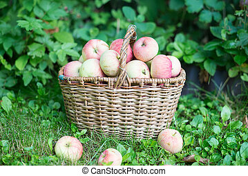 A basket of ripe apples in the garden