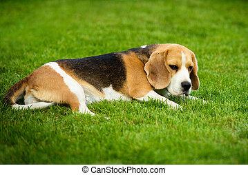 a, beagle, hund, liegen, auf, a, grünes gras