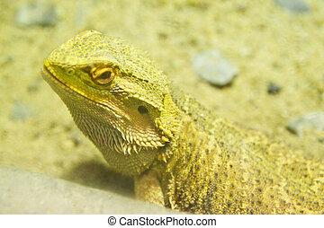A Bearded dragon (pogona vitticeps)