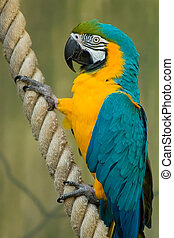 A beatiful Blue & Gold Macaw Hanging onto a rope