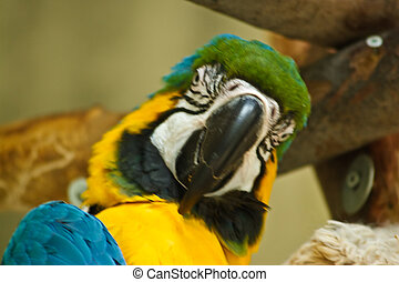 A beatiful Blue & Gold Macaw