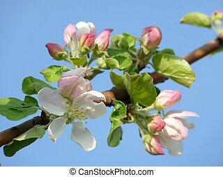 A beautiful apple blossom against the blue sky