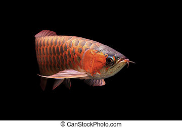A beautiful arowana isolated on black background