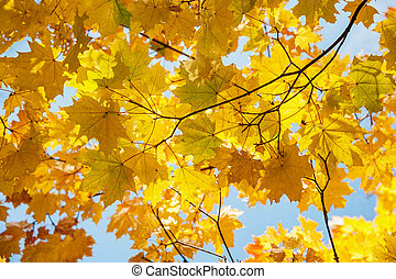 A beautiful Avenue of maple trees in autumn with yellow leaves.