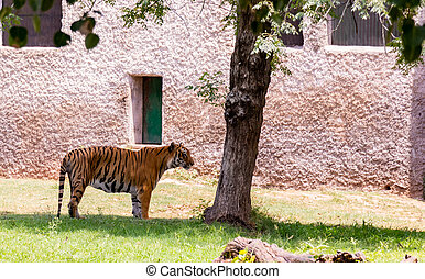 A beautiful Bengal tiger standing near the tree on green area in chhatbir zoo