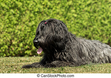 A beautiful black Briard in the garden