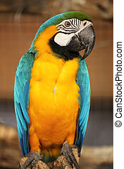 blue and yellow macaw i