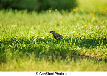 A beautiful, brown common starling female feeding in the grass before migration. Adult bird in park.