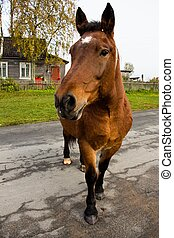 A beautiful brown horse on a road in the countryside on a farm