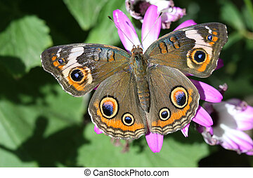 A beautiful buckeye butterfly resting on a flower. (Junonia Coenia). The buckeye is a medium-sized butterfly with two large multicolored eyespots on hindwings and one large eyespot on forewings.