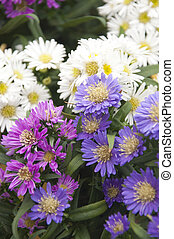 Colorful Asters for sale at a farmers' market in Vevey, Switzerland