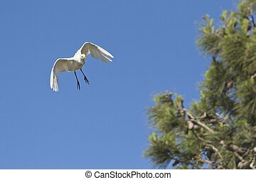 a beautiful cattle egret coming into land on a pine tree in ...