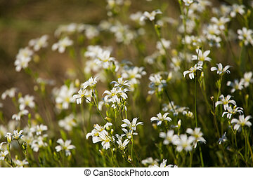 A beautiful closeup of small, white flowers in a grass