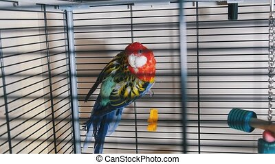 A beautiful colorful parrot in the cage. Mid shot