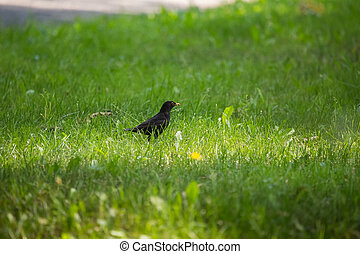 A beautiful common blackbird feeding in the grass in park before migration. Turdus merula. Adult bird in park.