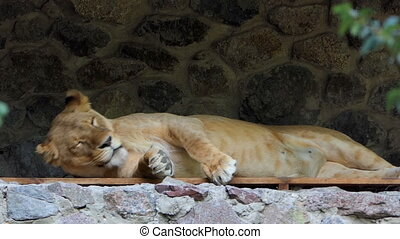 a Beautiful Female Lion Lies in Asone Wall Niche in Summer