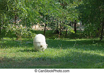 A Beautiful, Fluffy, Snow-White Dog On Sniffs the Smells in The Grass On a Sunlit Lawn