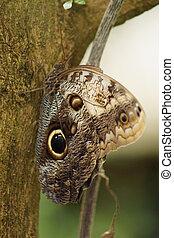Forest Giant Owl - Caligo eurilochus - A Beautiful Forest ...