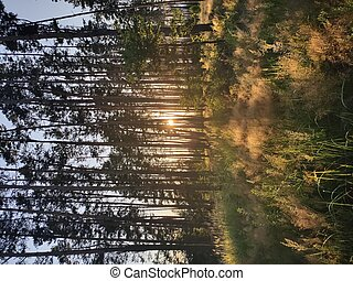 beautiful forest with sunset through pine trees
