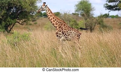 The observation of giraffes in the African Savannah