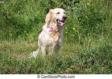 a beautiful golden retriever pet gundog