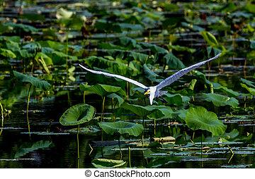 Great White Egret in Flight - A Beautiful Great White Egret ...