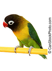 green parrot lovebird isolated